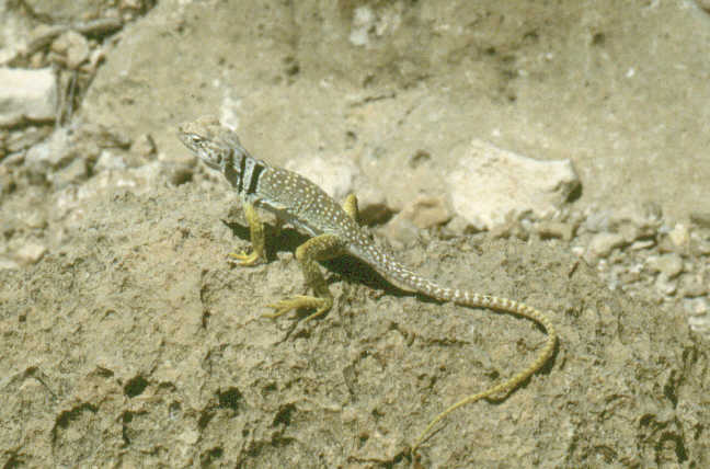 a small stripped lizzard.